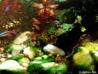 Blauwalg aquarium is heel vervelend en laat zich moeilijk bestrijden. Oplossing is dikwijls volledig verduisteren.